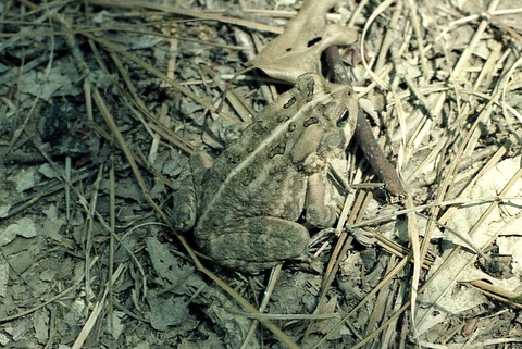 Toad, Oak Mountain State Park, Shelby County, Alabama