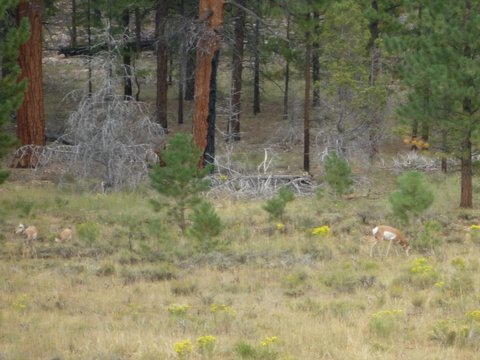 Pronghorn, Swamp Canyon, Bryce Canyon National Park, UT