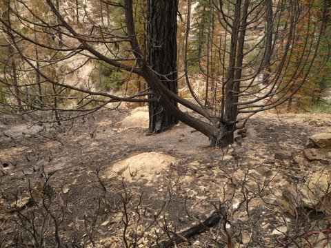 Burned trees, Swamp Canyon Connecting Trail, Bryce Canyon National Park, UT