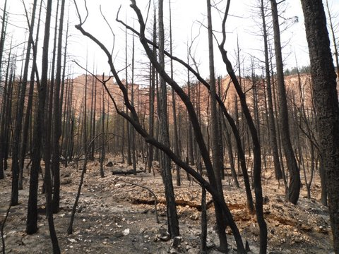 Burned trees, Under-the-Rim Trail, Bryce Canyon National Park, UT