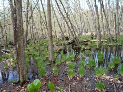 Wetlands, Yellow Trail, Mt. Holly Sanctuary, Westchester County, NY
