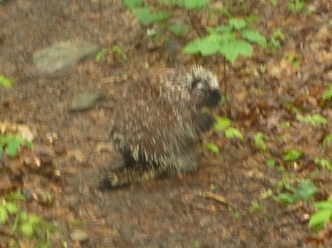 American Porcupine (blurred)