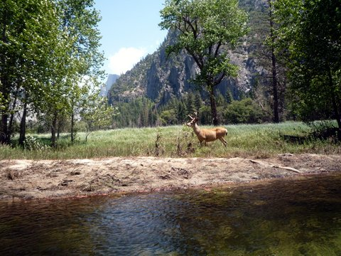 Mule Deer beside Merced River, Yosemite National Park, California