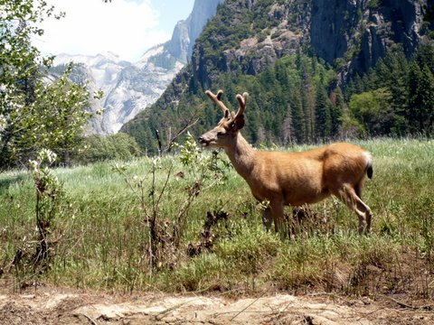 Mule deer, Yosemite National Park, California