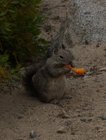 California ground squirrel eating cheese puff