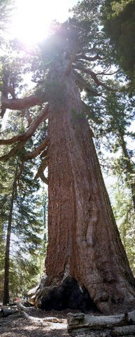 Grizzly Giant, Mariposa Grove, Yosemite National Park, California
