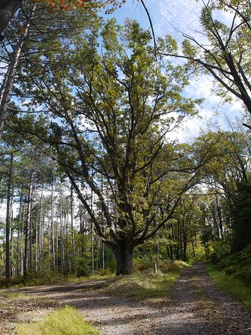 White Oak on White Oak Road, Black Rock Forest, Orange County, New York