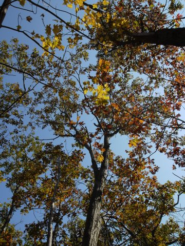 Tree canopy in Fall colors