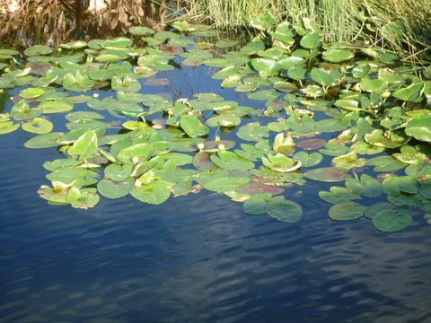 Water lilies, Wakodahatchee Wetlands, Palm Beach County, Florida