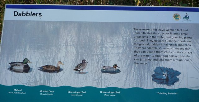 Dabbler poster, Wakodahatchee Wetlands, Palm Beach County, Florida