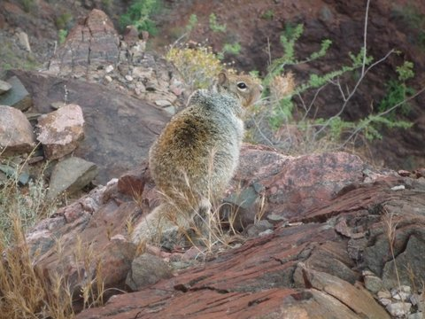 Fat squirrel, Bright Angel Trail, Grand Canyon