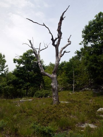 Dead tree, Stonetown Circular Trail, Passaic River Coalition, NJ