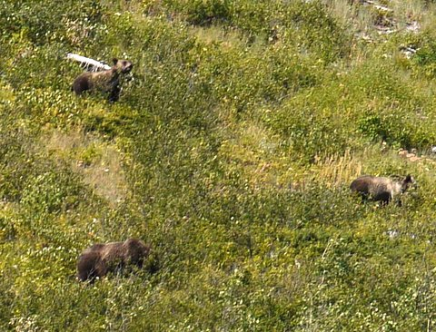 Grizzly bears, Glacier National Park, Montana