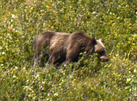 Closeup of grizzly bear, Glacier National Park