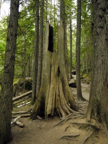 Trunk of dead tree, Avalanche Lake Trail, Glacier National Park, Montana