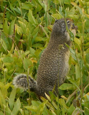 Columbian ground squirrel, Glacier National Park, Montana