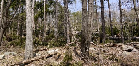 Fallen Trees, Stokes State Forest, NJ