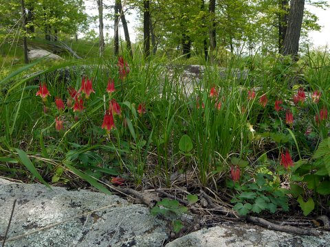 Red Columbine, Harriman State Park, NY