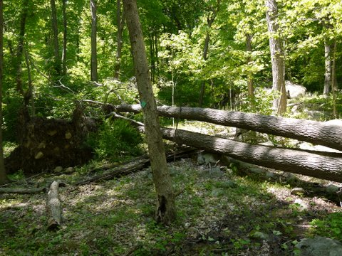Fallen trees, Highlands Trail, Tranquility Ridge County Park, Passaic County, NJ