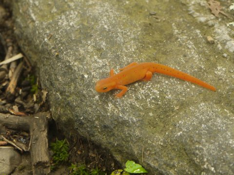 Red eft, Harriman State Park, Rockland County, NY