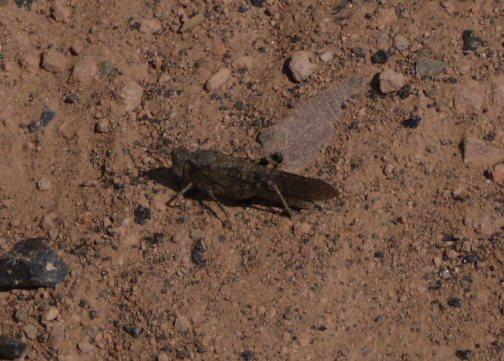 Wrangler grasshopper, Yellowstone National Park, Wyoming
