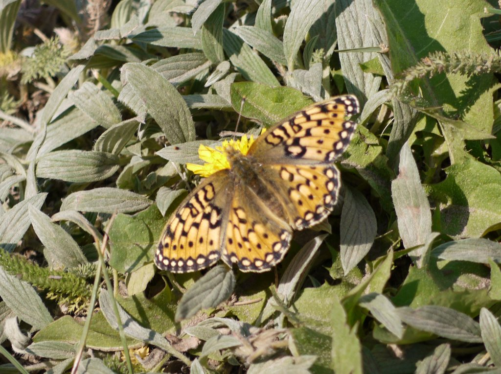 Edwards' Fritillary Butterfly, Yellowstone National Park, Wyoming