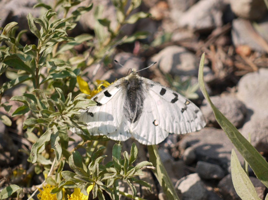 Checkered White Butterfly, Yellowstone National Park, Wyoming