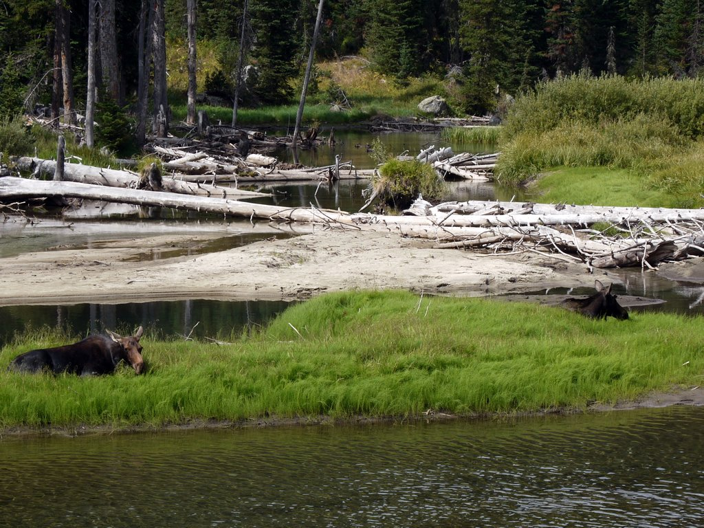 Moose Relaxing on Island in Cascade Creek, Grand Teton National Park, Wyoming