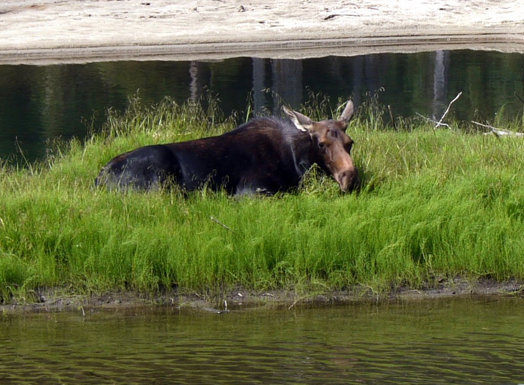 Detail of Resting Moose, Grand Teton National Park, Wyoming