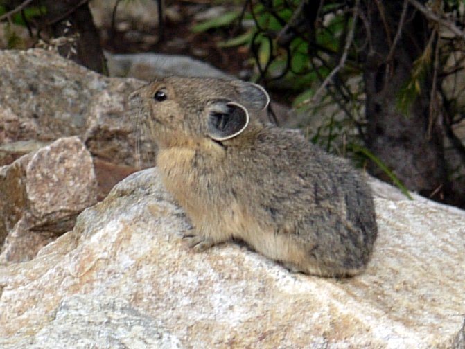 Pika, Grand Teton National Park, Wyoming