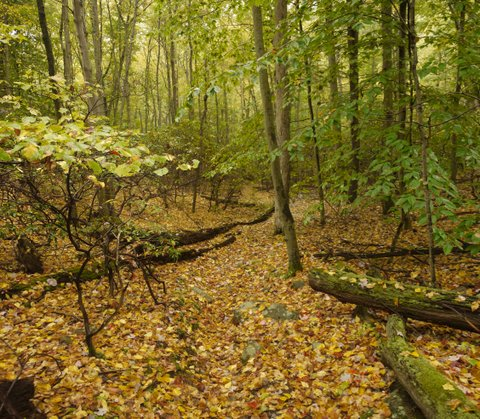 Fallen leaves and fallen trees, Ward Pound Ridge Reservation, NY
