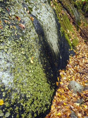 Rock covered with lichen, Ward Pound Ridge Reservation, NY