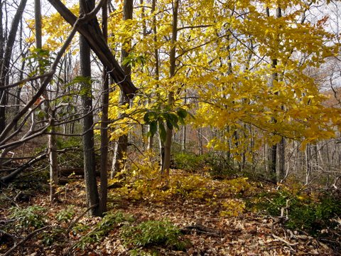 Yellow Fall colors, Black Rock Forest, Orange County, New York