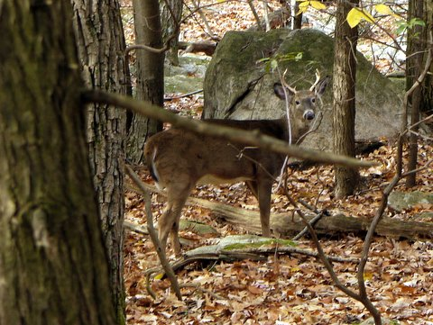 Deer, Black Rock Forest, Orange County, New York
