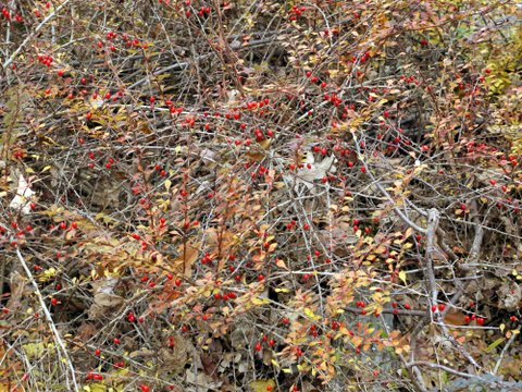 Red berries, Black Rock Forest, Orange County, New York