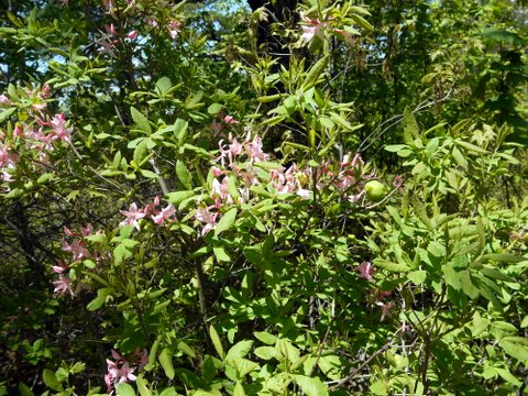Flowering plant, High Point State Park, Sussex County, New Jersey