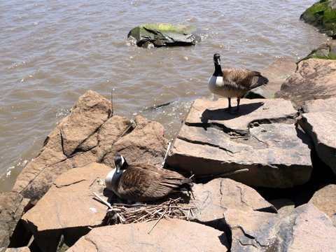 Canadian Geese guarding nest, Palisades Interstate Park, Bergen County, New Jersey