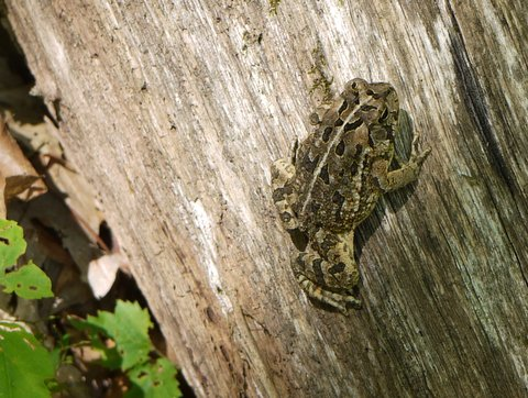 Toad, Norvin Green State Forest, Passaic County, New Jersey