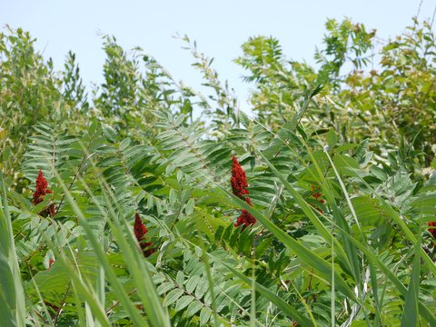 Red flowers along Shore Parkway, Brooklyn, Kings County, New York