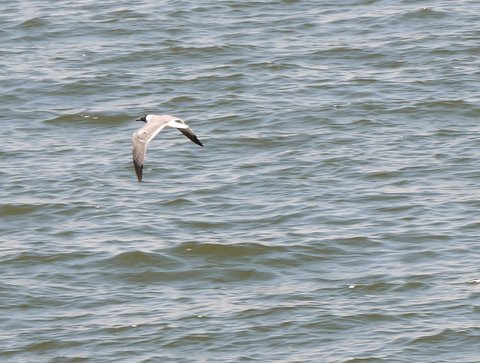 Laughing gull, Brooklyn, Kings County, New York