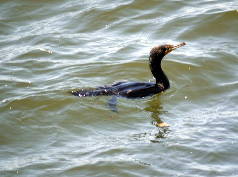 Double-crested cormorant, Brooklyn, Kings County, New York