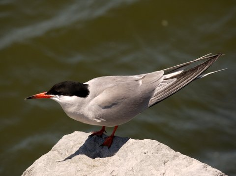 Forster's tern, Brooklyn, Kings County, New York