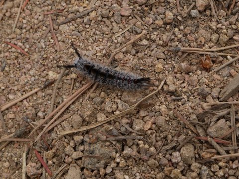Caterpillar, Boulder Mountain Park, Boulder, Colorado