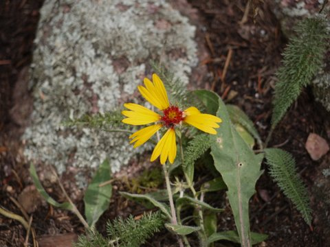 Blanketflower (Gaillardia aristata), Boulder Mountain Park, Boulder, Colorado