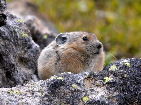 American pika (Ochotona princeps), Rocky Mountain National Park, Colorado