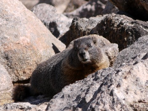 Yellow-bellied marmot (Marmota flaviventris), Rocky Mountain National Park, Colorado