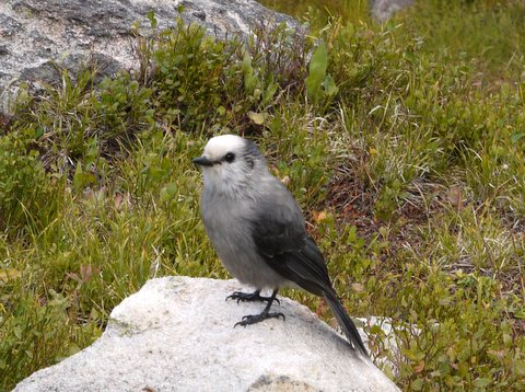 Gray jay (Perisoreus canadensis), Rocky Mountain National Park, Colorado
