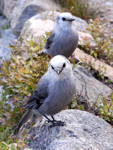 Gray jays (Perisoreus canadensis), Rocky Mountain National Park, Colorado