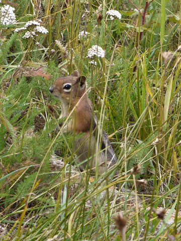 Chipmunk in the grass, Rocky Mountain National Park, Colorado