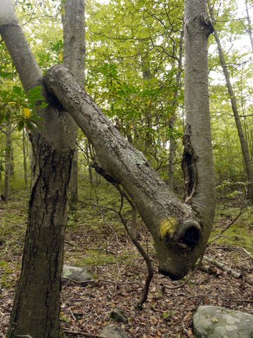 Oddly-shaped tree, Harriman State Park, Rockland County, New York